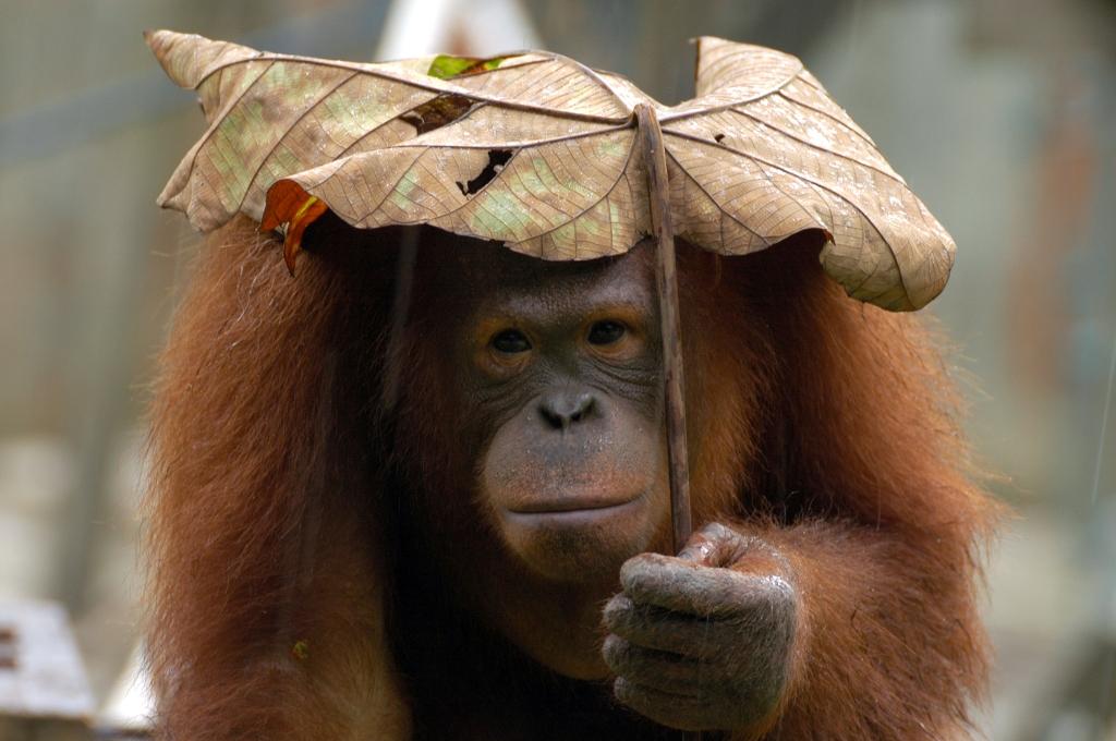 Mary Poppins x Orangutan